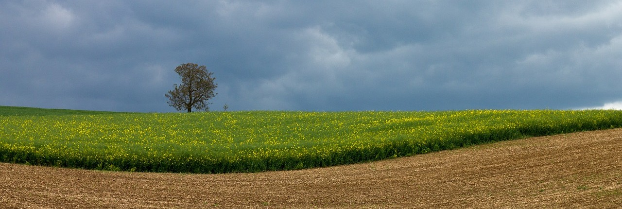 oilseed-rape-341306_1280